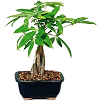 Amazon Best Sellers Best Indoor Bonsai