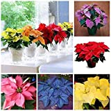 Rare 5 Colors Poinsettia Flower Seeds, Euphorbia Pulcherrima Seeds - 200 Seeds