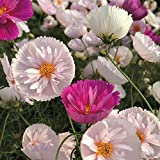Cosmos bipinnatus Cupcakes Mixed, Annual, 15 seeds