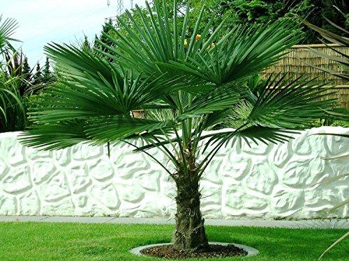 Trachycarpus fortunei ca. 90-100 cm. Frostharte Hanfpalme bis -17 Grad
