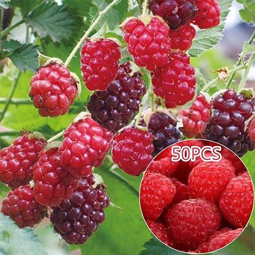 ypypiaol 50 Unids Deliciosas Semillas De Frambuesa Frutas Dulces ...