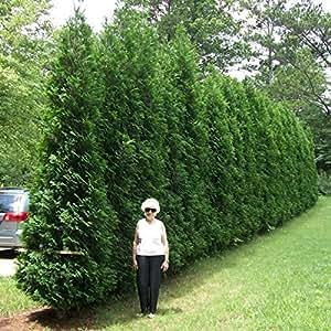 Giant Green Pine Tree - Christmas trees seeds (1)