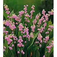 13 Plants Bare Root Pink Lily Of The Valley Convallaria rosea 1 Day Shipping
