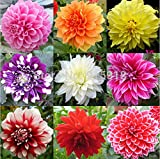 Flower seeds Type ordinally yukako dahlia bulbs seeds bonsai flowers - 100 pcs seeds