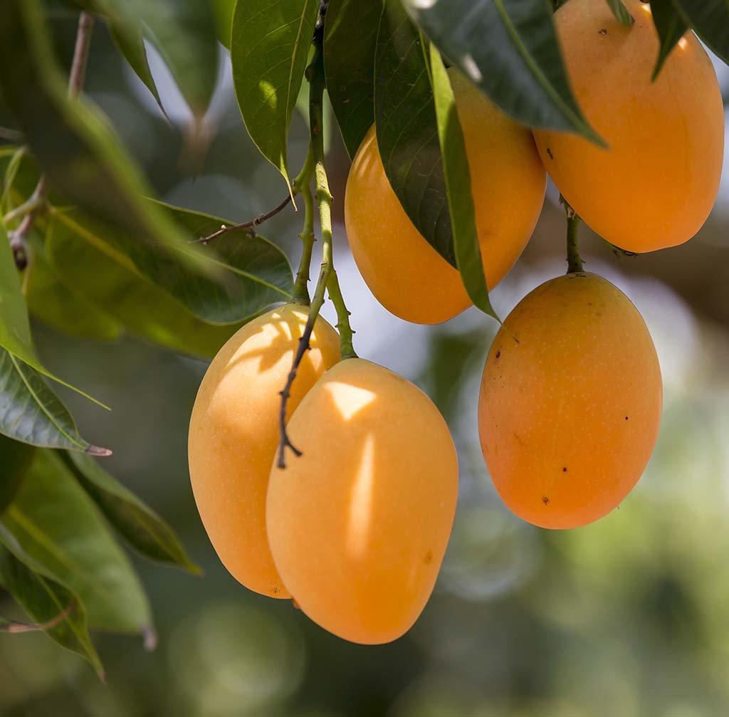 Nelesa Gardening Live Alphonso Mango Plant