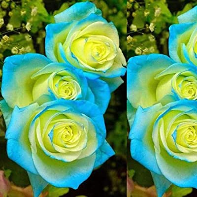 Phoenix b2c 50Pcs Rose Seeds Plant Home Park Ornamental Flower Balcony Yard Bonsai Decor - Rose Seeds : Garden & Outdoor