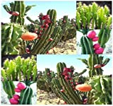 5 Packs x 20 PERUVIAN APPLE CACTUS - Cereus repandus SEEDS - Fig Cactus - EDIBLE FRUITS High In Vitamins and Antioxidants - Night Blooming - By MySeeds.Co