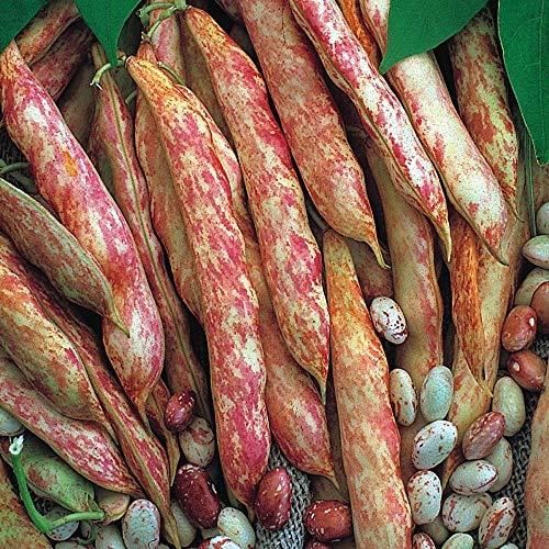 IDEA HIGH SeeKay Climbing French Bean Borlotto - 45 Seeds - ()