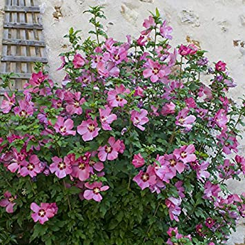 Hardy Hibiscus Collection With 3 Bushes In 3 Colours