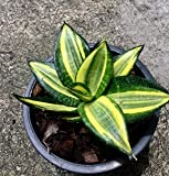 Sansevieria trifasciata hort. ex Prain cv. Golden Hahnii
