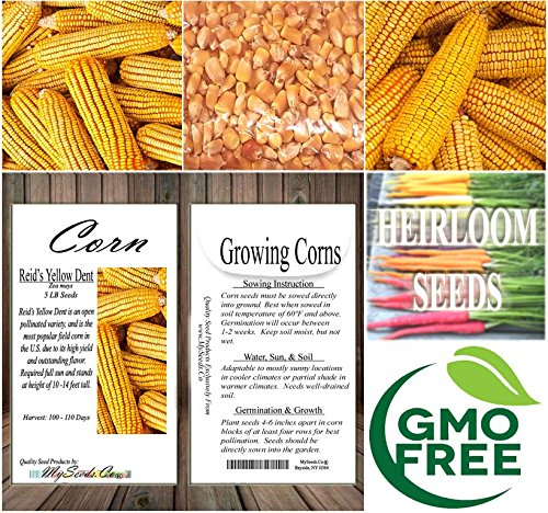 5 LB (8,400+ Seeds) Reid's Yellow Field Corn Seed (OP) open pollinated variety - Non-GMO Seeds By MySeeds.Co (5 LB Reid Yellow Corn) by MySeeds.Co - VEGETABLE Seeds by the LB (Image #6)