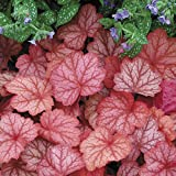 """Heuchera Georgia Peach - Coral Bells - 4"""" potted Perennial - 3 plants by Growers Solution"""