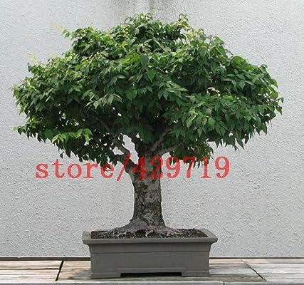 5 semillas de olmo chino reales redactar bonsai olmo para la siembra de semillas de mini jardín de su casa bonsai: Amazon.es: Jardín