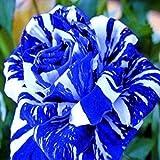 Blue Dragon Rose Bush 20 Seeds~rare
