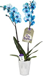 Hallmark Flowers Blue Orchid in 5-Inch White Ceramic Container