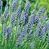 2pcs/lot Muscari armeniacum 'Saffier' Grape hyacinth bulbs bonsai plant DIY home garden #M001