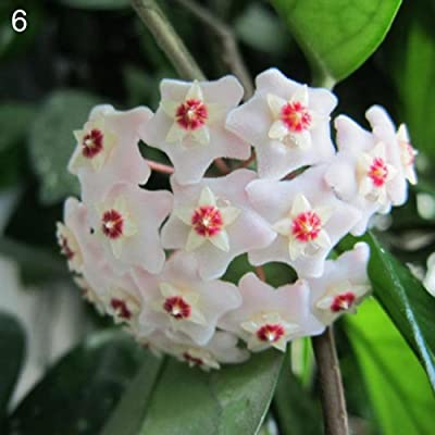 LOadSEcr's Garden 300Pcs Mixed Color Flower Hoya Seeds Non-GMO Ornamental Plants Yard Office Decoration, Open Pollinated Seeds - 6# Hoya Seeds : Garden & Outdoor