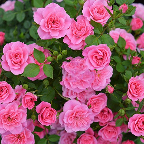 Kuting 100 Pcs Climbing Colorful Rose Flowers Seeds Garden Home Balcony Fences Yard Decoration Flowers Plants (Rosa Parade Seeds)