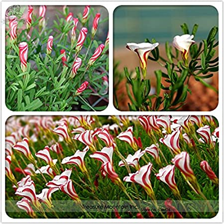 Rare Oxalis Versicolor Candy Cane Sorrel Seeds 100 Seeds Professional Pack