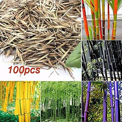 ScoutSeed verde: 7FAC C35F 100Pcs Tinwa Phyllostachys Pubescens Semillas Jardín Suministros Plantas Bambú: Amazon.es: Jardín