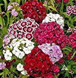 Sweet William,(Seeds )White/Pink/Red, Flower Seeds,Dianthus barbatus