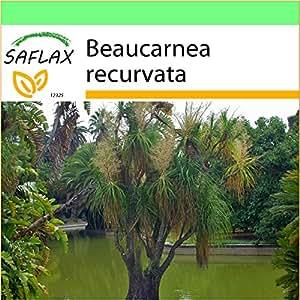 SAFLAX - Garden to Go - Pata de elefante - 10 semillas - Beaucarnea recurvata