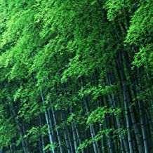 60 bamboo seeds