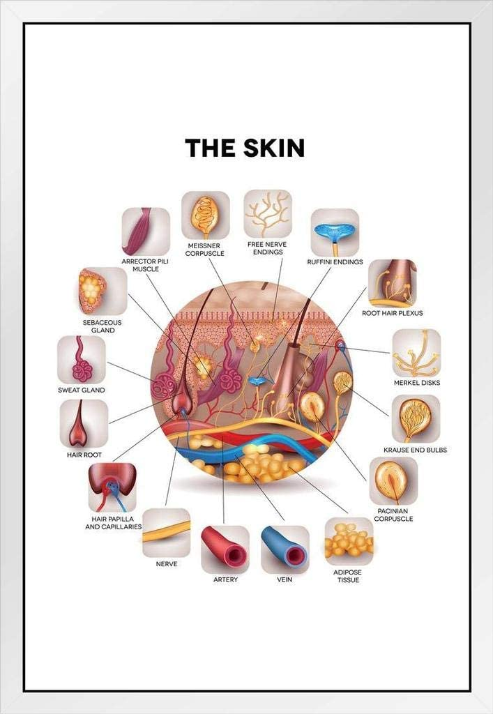 Human Circulatory System Diagram Educational Chart Matted Framed Wall Art Print 20x26 inch