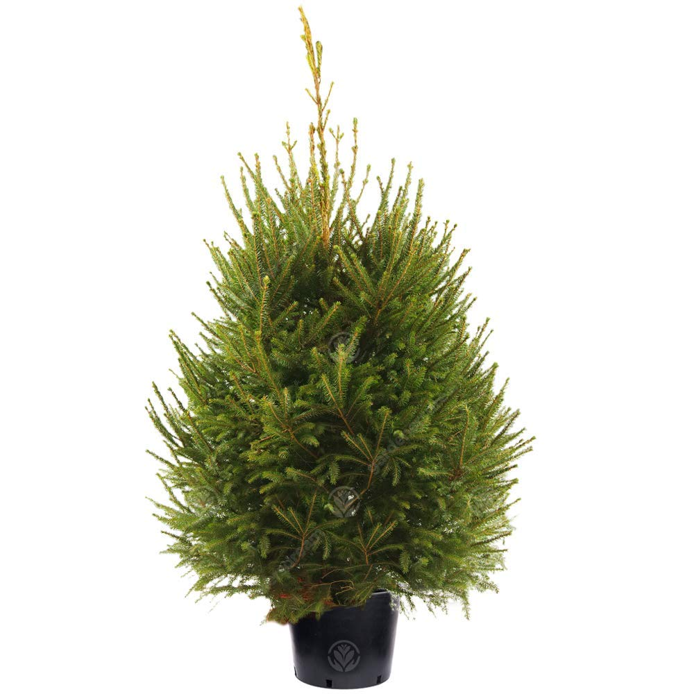 GardenersDream Norway Spruce Pot Grown Christmas Tree - Real Live Fresh Living Potted Plant (3ft, 90cm)