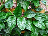 Asian Heirloom Green Leaf Malabar Spinach Seeds by Stonysoil Seed Company