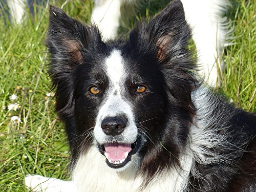 - Home Comforts Peel-n-Stick Poster of Collie Black White Dog Black Border Collie White Poster 24x16 Adhesive Sticker Poster Print