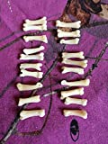 20 Real Coyote Toes Bone Mountain Man Craft Supply Jewelry Earring Gothic Claws