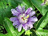 20 Passiflora Incarnata Seeds (Purple Passion Flower) Authentic