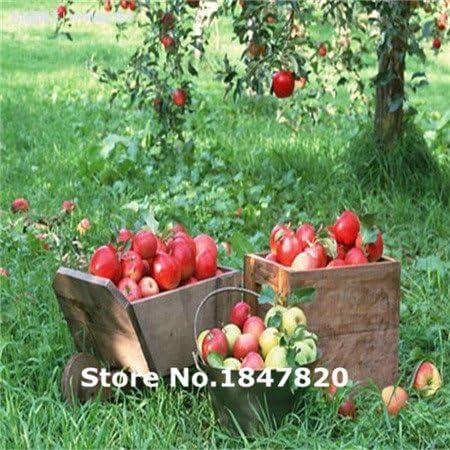 Bonsai de Apple semillas de árboles bonsai 50 PC jardín semillas de manzana frutos en macetas jardineras: Amazon.es: Jardín