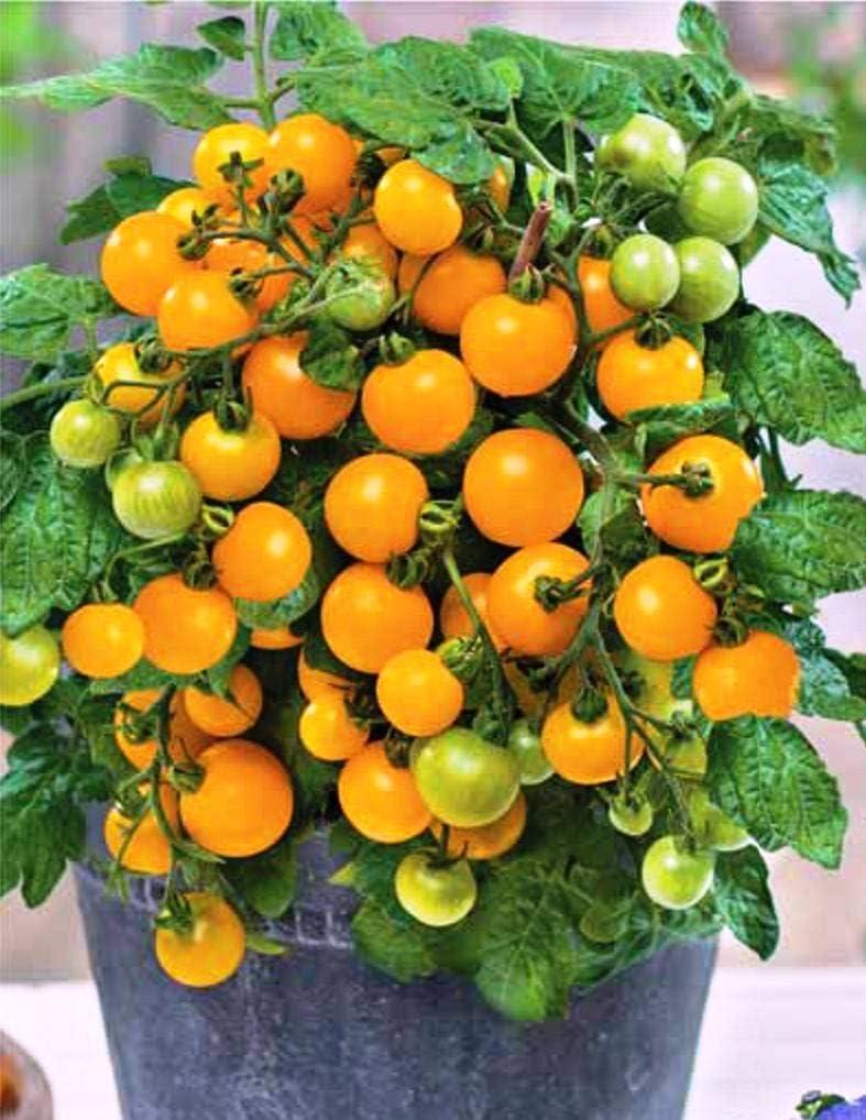Dwarf Bush Yellow Tomato Seeds for Planting Around 40 Seeds