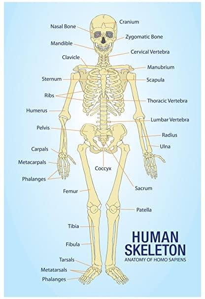 Amazon Human Skeleton Anatomy Anatomical Chart Poster Print 13