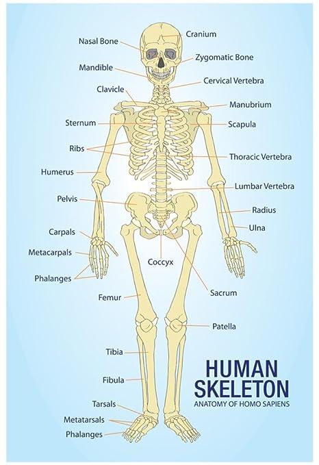 Amazon Human Skeleton Anatomy Anatomical Chart Poster Print 13