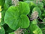 BUTTERBUR (Petasites hybridus) 100 FRESH SEEDS