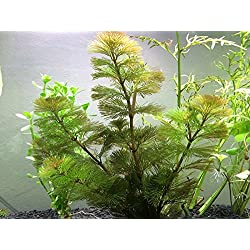 Aquatic Arts Green Cabomba - 2 Bunches – Live Aquarium Plant by