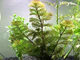 Green Cabomba - 2 Bunches – Live Aquarium Plant by Aquatic Arts