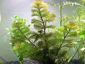 Aquatic Arts Green Cabomba - 2 Bunches - Live Aquarium Plant