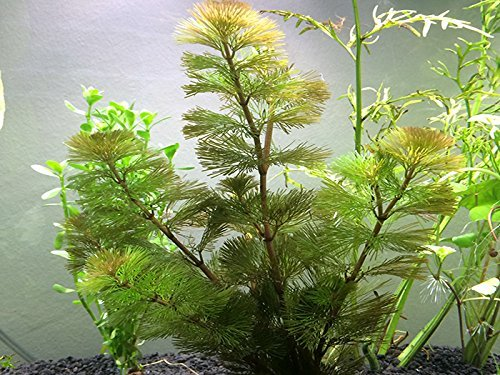 Aquatic Arts Green Cabomba - 2 Bunches - Live Aquarium Plant ()