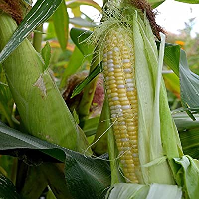 Providence Hybrid Triplesweet Corn Garden Seeds - Non-GMO Bicolor (Yellow & White) Sweet Corn - Vegetable Gardening