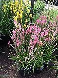 Kangaroo Paw (Pink) aka Anigozanthus Flav. 'Kanga Pink' Live plant - Fit 1 Gal pot - w FREE GIFT per request - From Bellacia Garden