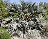 Brahea armata Blue Hesper Palm - Very Cold Hardy - Seeds!