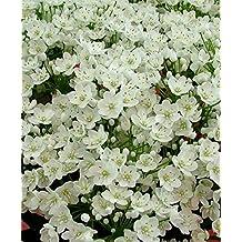 Allium Bulbs, Allium Cowanii Bulbs,Perennial in Zones 4-8. Sprays of pure white flowers, Now shipping ! , (10, Bulbs)
