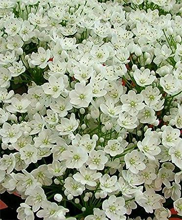 Amazon Allium Bulbs Allium Cowanii Bulbs Perennial In Zones