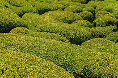 Korean Boxwood - Live Plants - Lot of 10 Shrubs in Gallon Pots by DAS Farms (Image #2)
