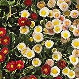 Everwilde Farms - 2000 English Daisy Wildflower Seeds - Gold Vault Jumbo Seed Packet