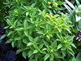 Spicy Globe Basil - 50 Seeds